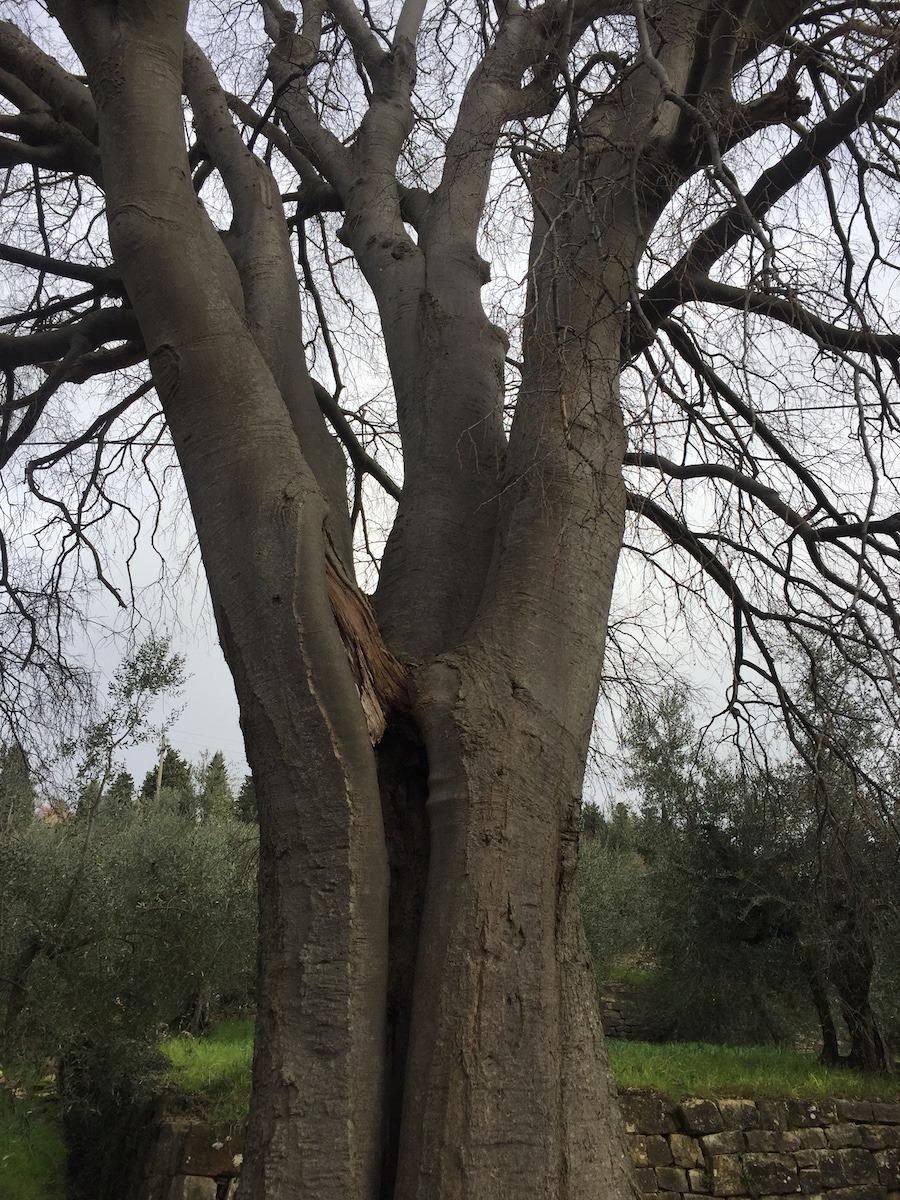 Il bagolaro (celtis australis) monumentale a Terenzano