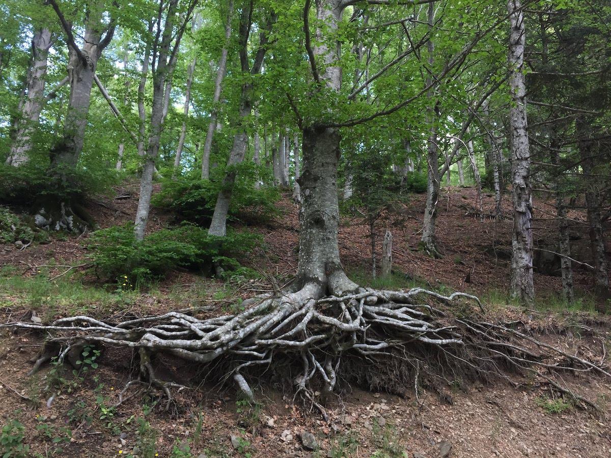 faggio nella foresta di s. antonio