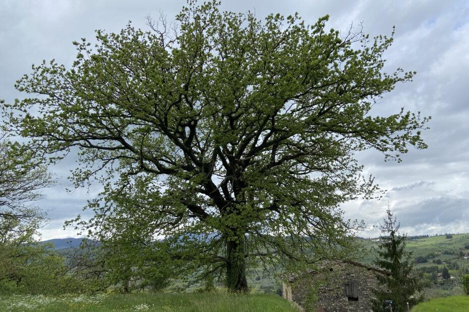 la roverella (Quercus Pubescens) monumentale presso la Torre di Buiano (Fiesole)